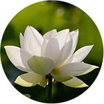 white_lotus-round-web